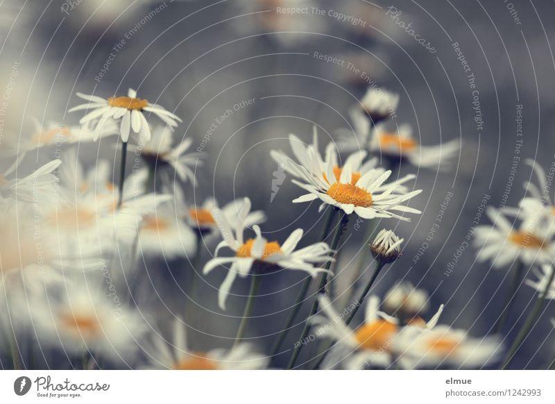alles Kamille Natur Pflanze Blüte Wildpflanze Kamillenblüten Wiese Feld Wachstum Blühend natürlich gelb weiß Hoffnung Zufriedenheit Design entdecken Leben