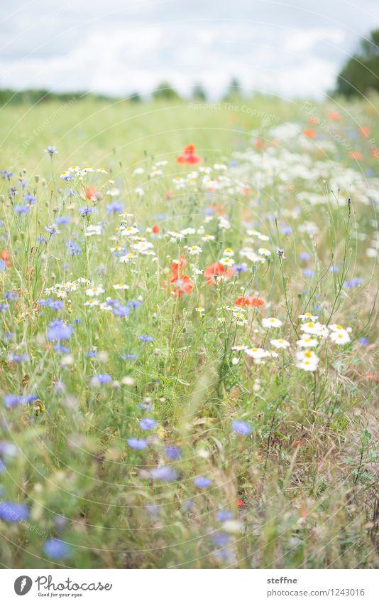 Sommerwiese Himmel Schönes Wetter Blume Gras träumen Wiese Blumenwiese Blühend Kornblume Feld Erholung Duft Farbfoto Außenaufnahme Textfreiraum oben