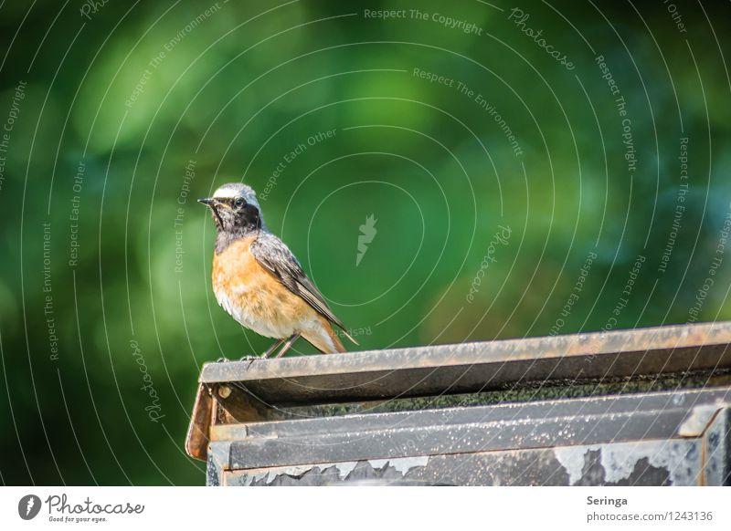 Auf der Suche nach einem Weibchen ( Gartenrotschwanz ) Natur Park Tier Vogel Tiergesicht Flügel 1 fliegen Farbfoto Außenaufnahme Tag Licht