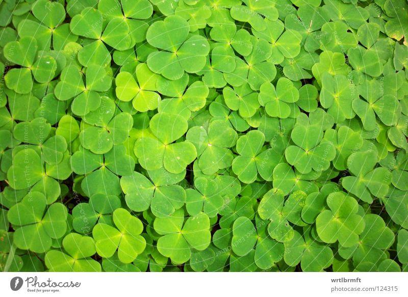 Vielklee. Vierklee? Natur grün Pflanze Wiese klein Glück hell mehrere ästhetisch Erfolg Muster gut viele eng Symbole & Metaphern Klee