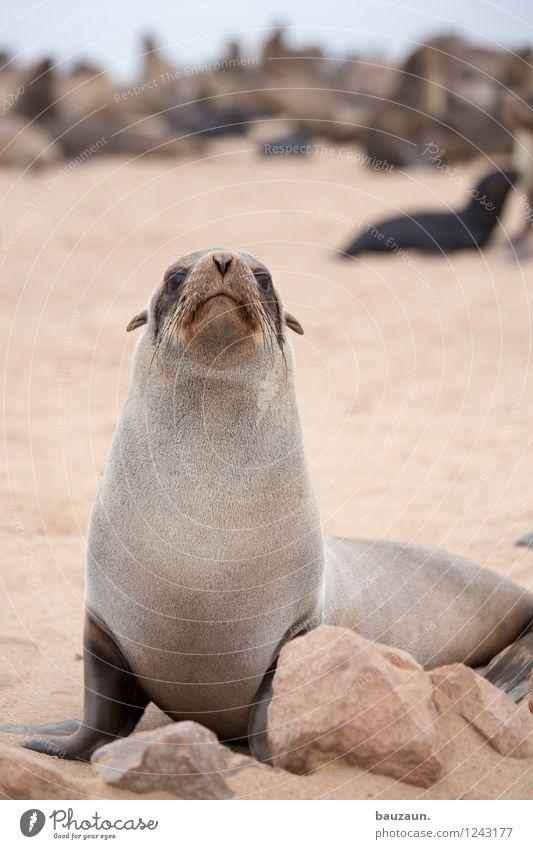 segelohren. Ferien & Urlaub & Reisen Tourismus Ausflug Abenteuer Sightseeing Sommer Strand Meer Erde Sand Küste Namibia Afrika Wildtier Tiergesicht Robben 1