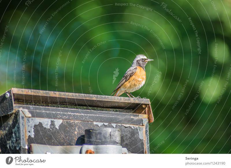 Briefpost ( Gartenrotschwanz ) Natur Park Tier Vogel Tiergesicht Flügel 1 fliegen Farbfoto mehrfarbig Außenaufnahme Tag Licht Kontrast Silhouette
