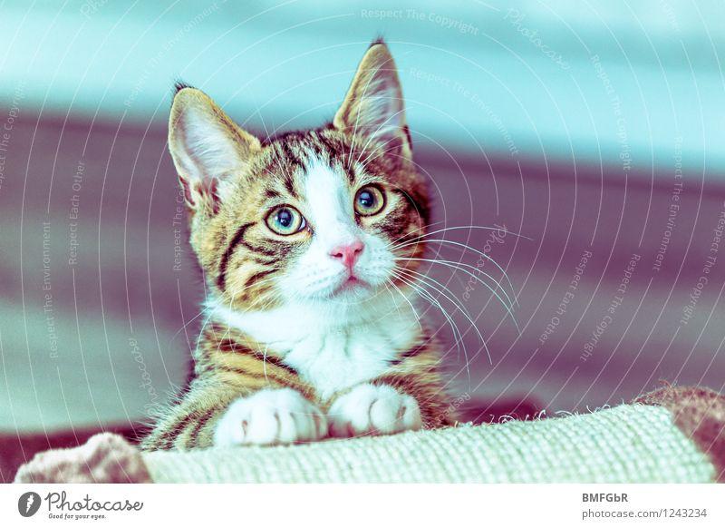 Schau mir in die Augen. Kleines! Katze blau schön Freude Tier Tierjunges lustig Glück Zufriedenheit Fröhlichkeit Lebensfreude beobachten niedlich retro Neugier