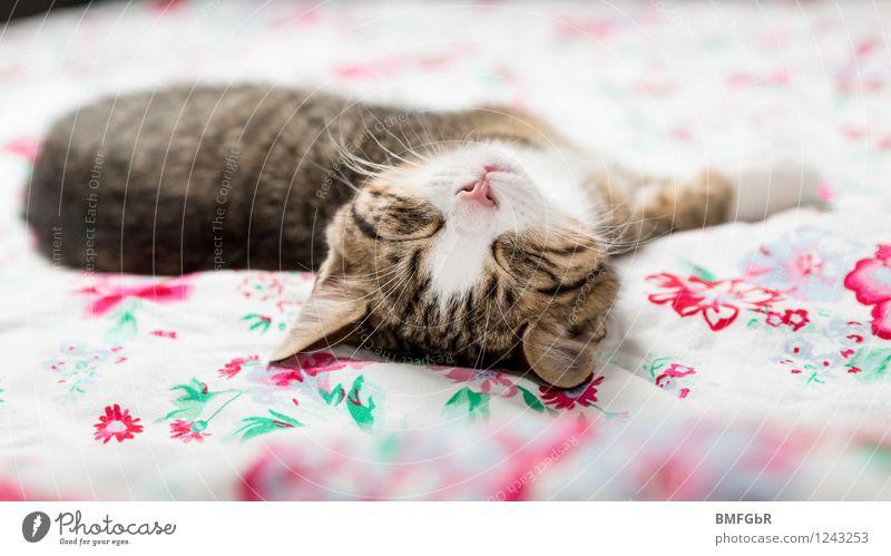 Tiefenentspannt Katze schön Erholung ruhig Tier Tierjunges lustig Stil Glück liegen Wohnung träumen Zufriedenheit Design genießen niedlich