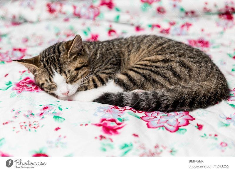 Kuscheliges Katze schön Erholung ruhig Tier Haus Tierjunges Glück liegen Wohnung Zufriedenheit Häusliches Leben genießen niedlich retro schlafen