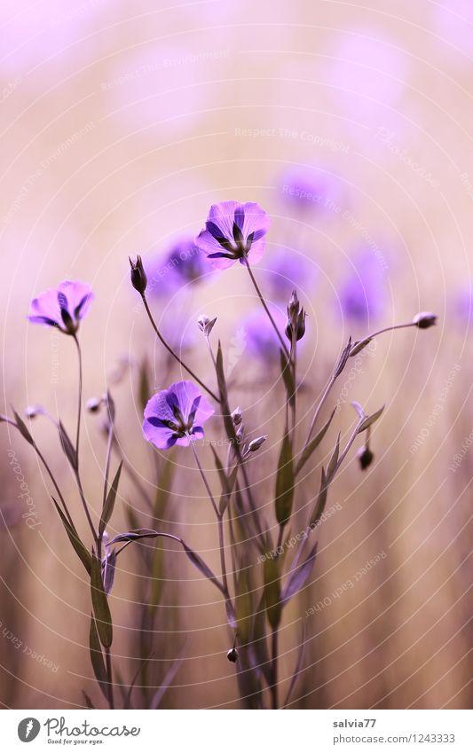 Lein in pastell Gesundheit Gesundheitswesen Alternativmedizin Gesunde Ernährung Wellness harmonisch Wohlgefühl Sinnesorgane Erholung ruhig Duft Natur Pflanze