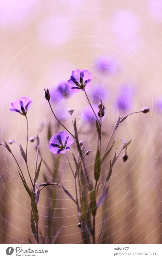 Lein in pastell Natur Pflanze blau schön Sommer Erholung Blume Gesunde Ernährung ruhig Blüte natürlich Gesundheit Gesundheitswesen hell Feld Wachstum