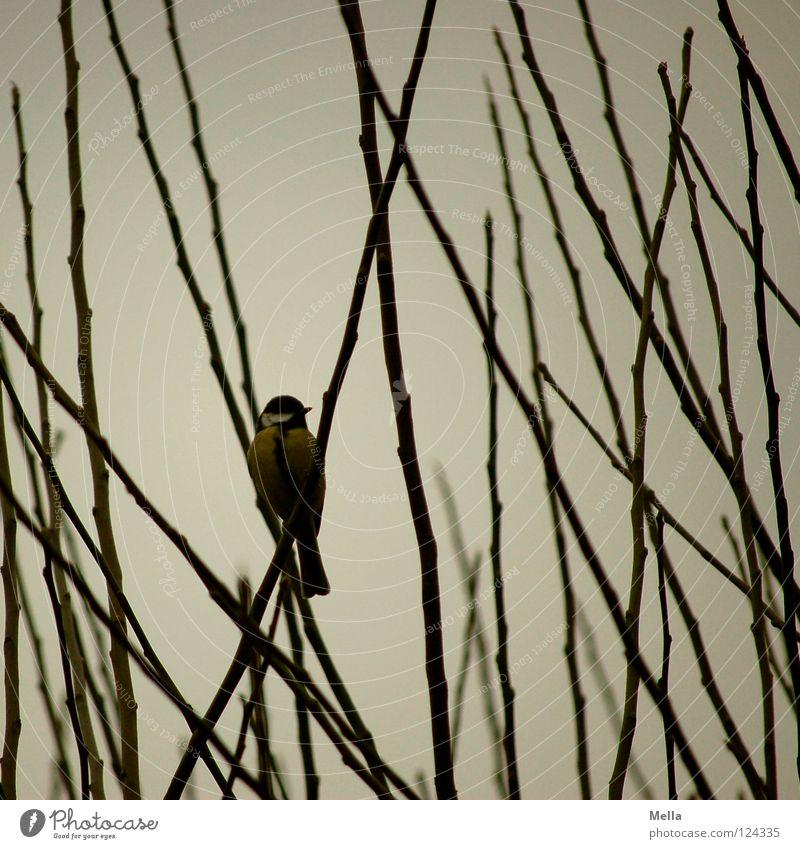 Meisenwinter IV Vogel Kohlmeise Geäst Sträucher hocken Gezwitscher grau trüb leer Einsamkeit kalt Winter Garten Park Ast Zweig sitzen Blick beobachten warten