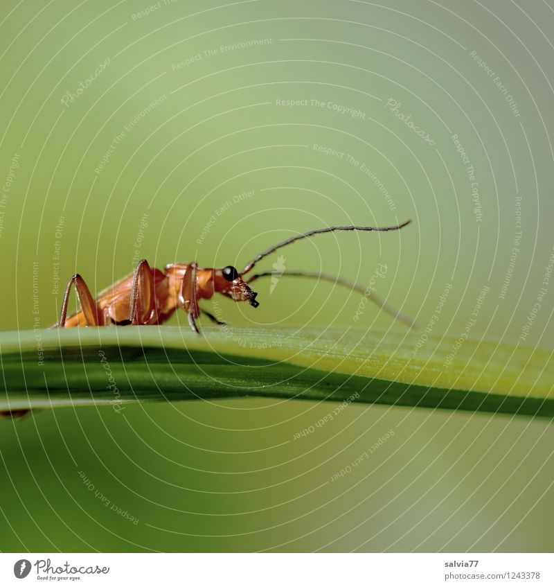 Fühler Umwelt Natur Pflanze Tier Frühling Sommer Blatt Grünpflanze Wiese Wildtier Käfer 1 berühren entdecken krabbeln nah natürlich Neugier grün Wachsamkeit