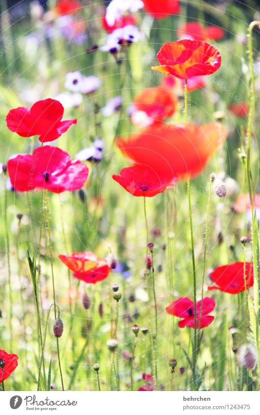leuchtender mo(h)ntag Natur Pflanze Frühling Sommer Herbst Schönes Wetter Blume Gras Blatt Blüte Wildpflanze Mohn Garten Park Wiese Feld Blühend verblüht