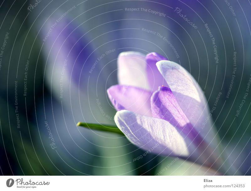 Krokus Natur grün Sonne Blume Wärme Beleuchtung Frühling Blüte Schönes Wetter zart violett Blütenblatt Vorsicht Lichtpunkt Frühlingsgefühle Krokusse