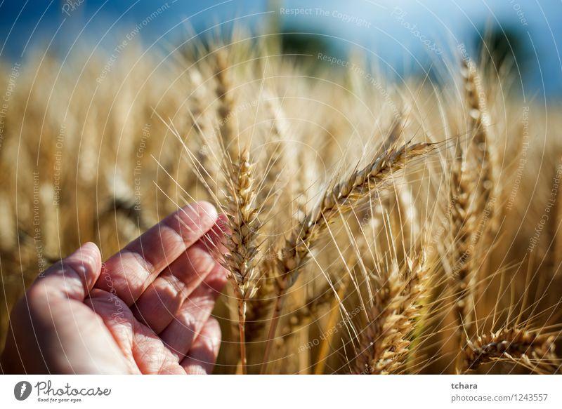Ernte Natur Mann Pflanze schön Sommer Sonne Hand Landschaft Erwachsene gelb Wachstum gold Bauernhof Mahlzeit ländlich