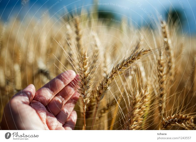 Ernte schön Sommer Sonne Mann Erwachsene Hand Natur Landschaft Pflanze Wachstum gelb gold Weizen Feld Ackerbau Korn Lebensmittel Stroh ländlich Samen Szene