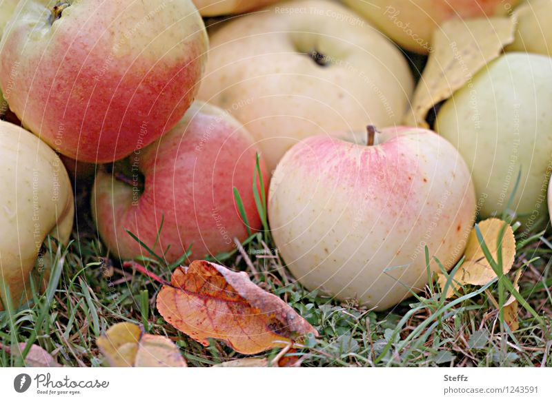 das Beste aus dem Obstgarten Äpfel Apfel Apfelernte reife Äpfel Fallobst Erntezeit Vorrat Wintervorrat Oktober Obsternte unbehandelt Bioobst Gartenobst
