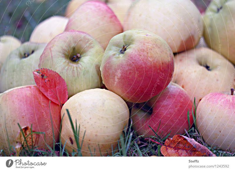 Apfelernte im Herbstgarten Äpfel Bio organisch Obst Frucht Obstgarten Vorrat Wintervorrat Vegane Ernährung Vegetarische Ernährung Natur Herbstfärbung Garten