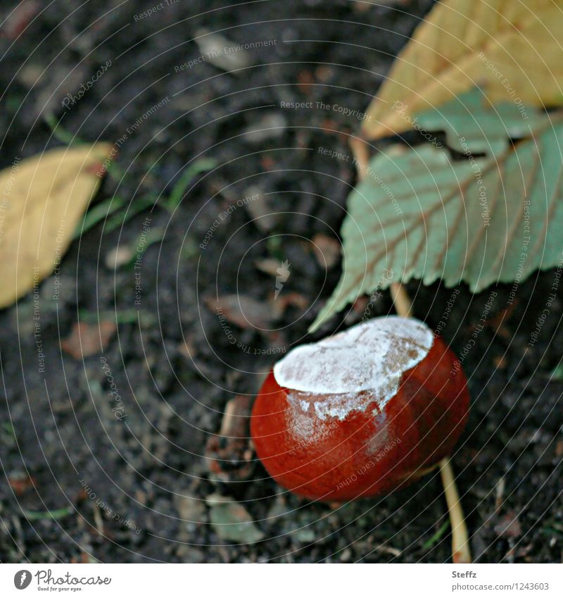 Saisonende mit Kastanie vergänglich heimisch Kastanien herbstlich Herbstbeginn Oktober Rosskastanie Kastanienzeit Herbststimmung Herbstgefühl Herbstfärbung