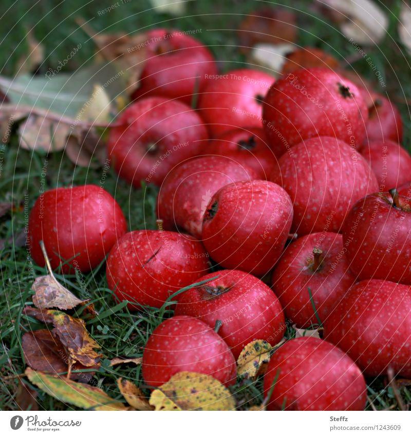 ein Wintervorrat an Äpfeln Apfel Apfelernte rote Äpfel Obsternte Fallobst Vorrat Erntezeit Gartenobst Oktober Oktoberlicht Herbstgefühle Herbststimmung