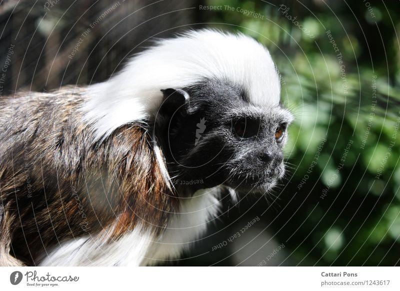 Aeffchen weiß Tier schwarz natürlich braun wild Wildtier authentisch beobachten weich Fell Wachsamkeit exotisch Tiergesicht langhaarig Zoo