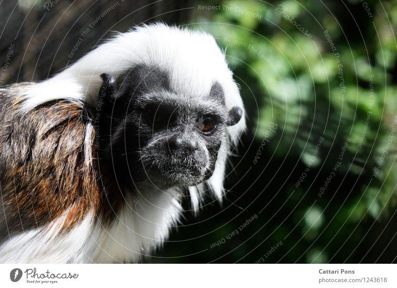 Affenblick weiß Tier schwarz braun wild Wildtier authentisch ästhetisch beobachten weich Fell Tiergesicht achtsam Äffchen