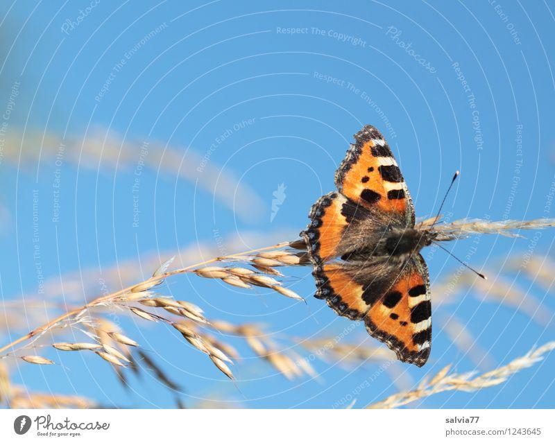 kleiner Fuchs Umwelt Natur Pflanze Tier Himmel Wolkenloser Himmel Sommer Halm Rispenblüte Schmetterling Flügel Kleiner Fuchs Edelfalter Insekt 1 genießen sitzen