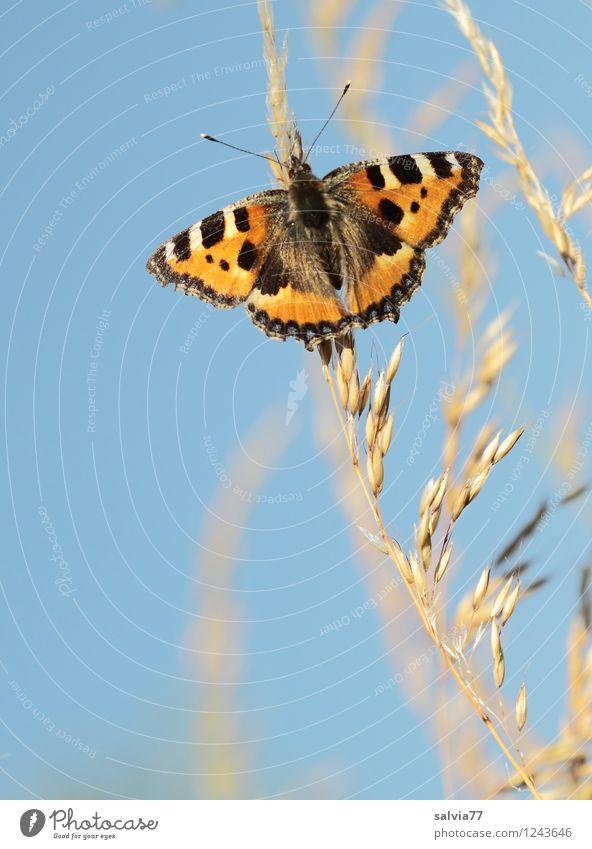 Abendsonne genießen Natur Pflanze Tier Himmel Wolkenloser Himmel Frühling Sommer Schönes Wetter Rispenblüte Schmetterling Flügel Kleiner Fuchs Insekt 1 berühren