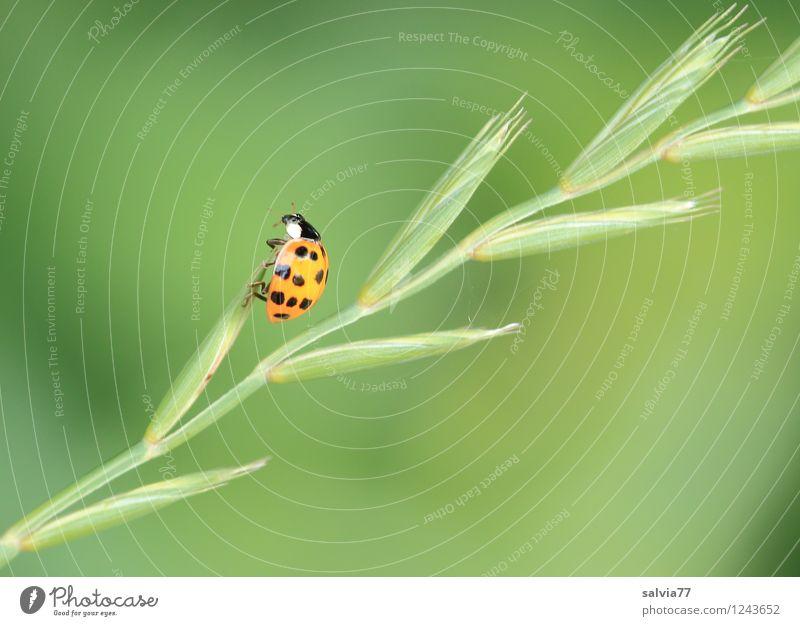 schon oben? Natur Pflanze Tier Frühling Sommer Gras Grünpflanze Wildtier Käfer Marienkäfer Insekt 1 krabbeln dünn frech frei frisch klein grün orange Glück