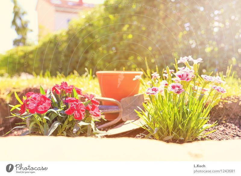 Nelken Sommer Wohnung Garten Gartenarbeit Pflanze Blume Park Terrasse Duft Farbfoto Außenaufnahme Menschenleer Tag Gegenlicht Schwache Tiefenschärfe