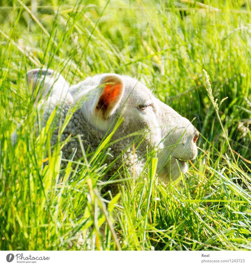 Sonniges Versteck Natur Tier Schönes Wetter Wiese Weide Landwirtschaft Tierzucht Nutztier Schaf 1 grün weiß Sonne verstecken hoch Gras liegen ruhig Geborgenheit