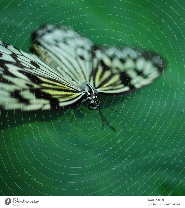 Schmetterviech II Natur weiß grün schön Freude Blume schwarz Tier gelb Farbe Beine elegant fliegen sitzen süß