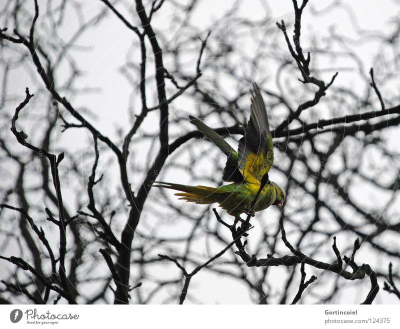 Auf dem Friedhof Winter Natur Baum Wildtier Vogel Flügel fliegen frei trist gelb grün Farbe Papageienvogel Schnabel Abheben Ast Zweig Feder Halsbandsittich