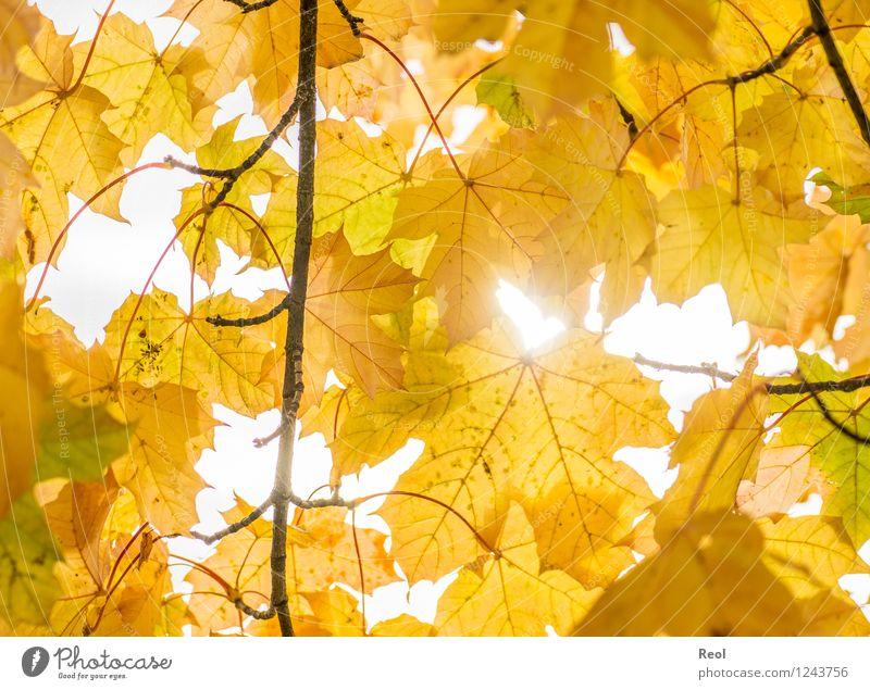 Herbst Natur Urelemente Sonnenlicht Schönes Wetter Pflanze Blatt Grünpflanze Wildpflanze Herbstlaub Blattadern Baumkrone Blätterdach Zweige u. Äste Garten Park