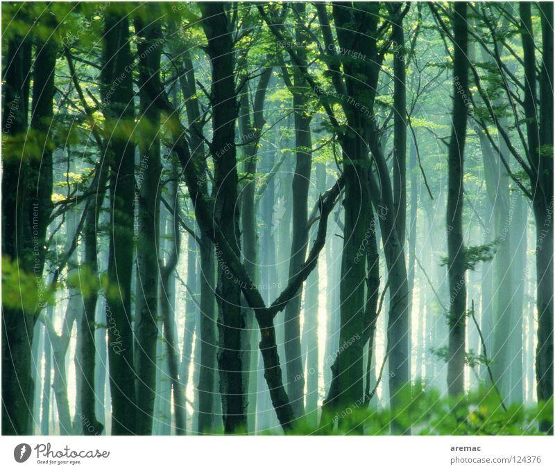 Märchenwald Wald Nebel Baum Blatt Buche grün Licht Landschaft Natur