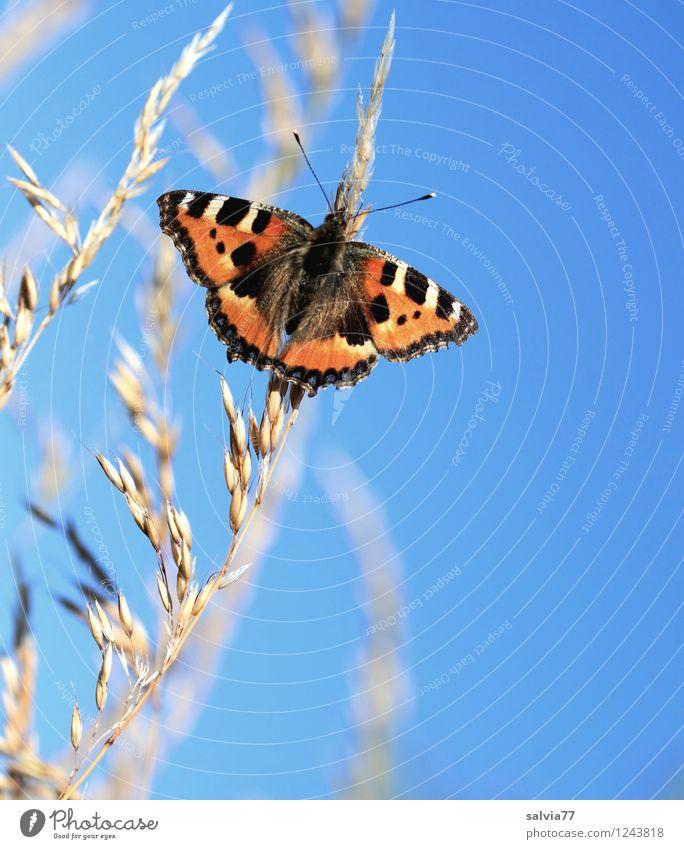 Sonnenbad Umwelt Natur Pflanze Tier Himmel Wolkenloser Himmel Frühling Schönes Wetter Gräserblüte Rispenblüte Schmetterling Flügel Kleiner Fuchs Insekt 1