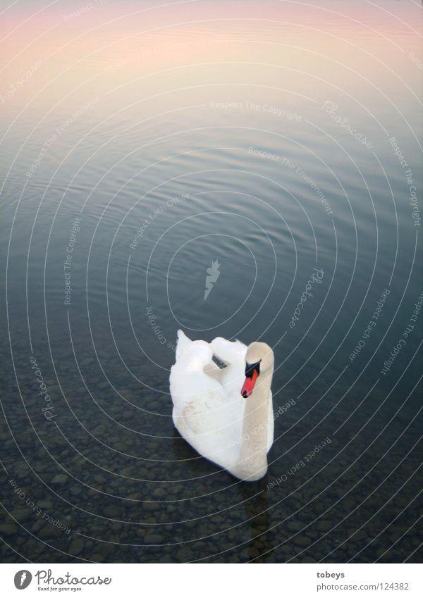 Engel Schwimmen & Baden Wellen Wasser Himmel See Vogel Schwan Flügel weiß Farbe Schnabel Mischung Ente lol Schnabeltier Im Wasser treiben mehrfarbig