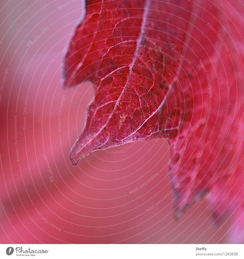 zackig rot Natur Pflanze schön Farbe Blatt knallig Blattadern Zacken intensiv Pflanzenteile