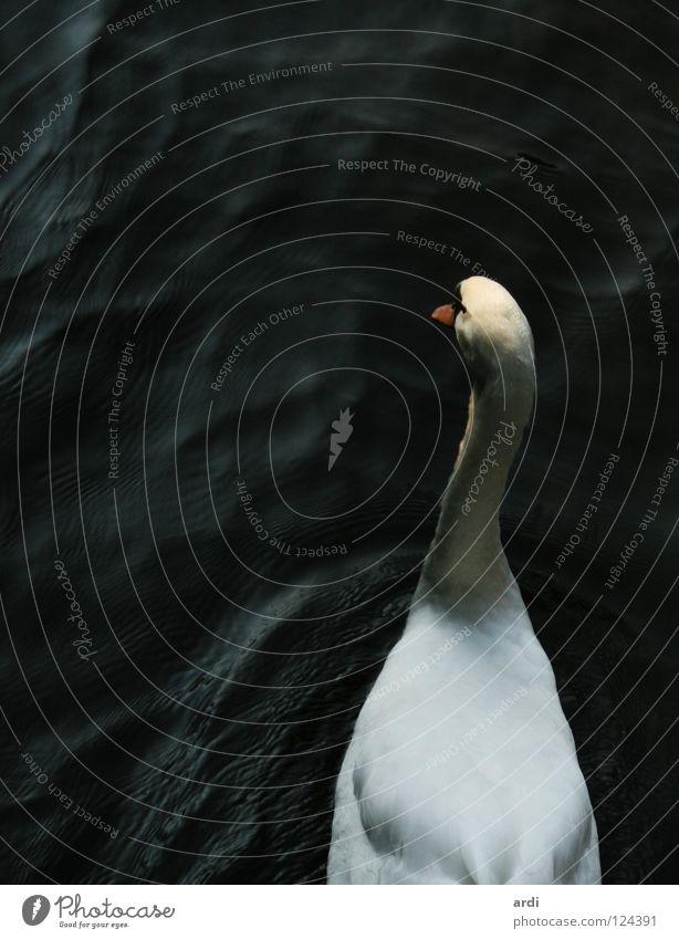 Vogelperspektive Schwan Tier See weiß Schnabel wasservogel Wasser Fluss Feder Kontrast swan bird animal sea water river fether white contrast nib ardi