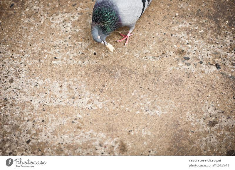 Leckerbissen Brot Toastbrot Verkehrswege Straße Tier Vogel Taube 1 Fressen füttern einfach lecker Neugier trist Stadt braun grau Tierliebe Opferbereitschaft