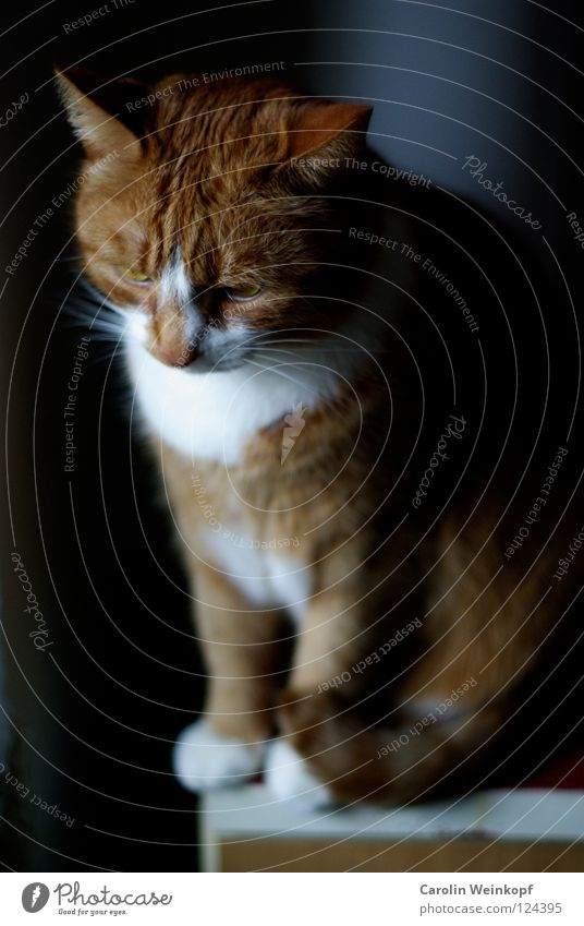 Paul. Katze Tier Haustier verträumt Fenster Fell rot Hauskatze Pfote Schnurren Schatten Haare & Frisuren getigert Ohr
