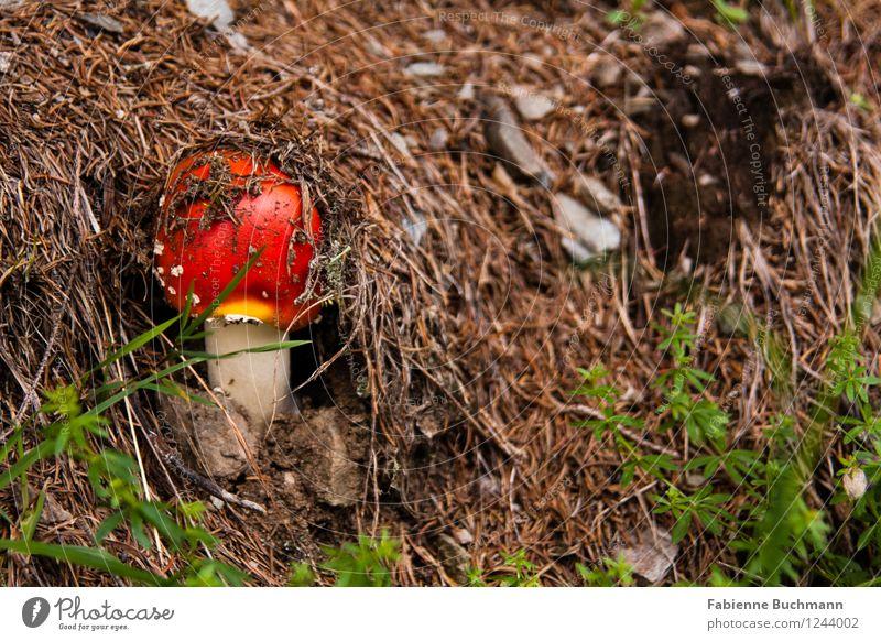 den Kopf rausstecken Natur Pflanze Herbst Fliegenpilz Tannennadel Wachstum klein braun grün rot weiß Waldboden Pilzhut Stein Farbfoto Außenaufnahme Nahaufnahme