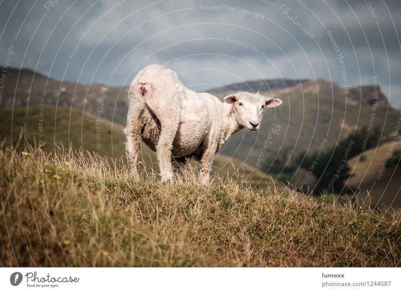 welcome to nz Landschaft Wolken Tier Leben Gras grau authentisch Insel Neugier Fell Schaf Nutztier Neuseeland