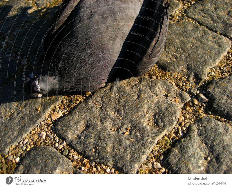 Dead Dove IV Himmel Tier Straße Tod Stein Vogel fliegen frisch Taube Hölle Gully Pflastersteine Abwasserkanal Abfluss