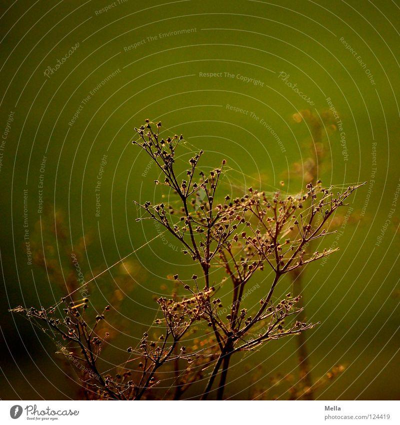 versponnen Pflanze Blüte Spinne trocken Gegenlicht Sonnenlicht Beleuchtung grün Nachmittag Wiese Blume Feld Physik Tod vergangen Vergänglichkeit Park Rispe