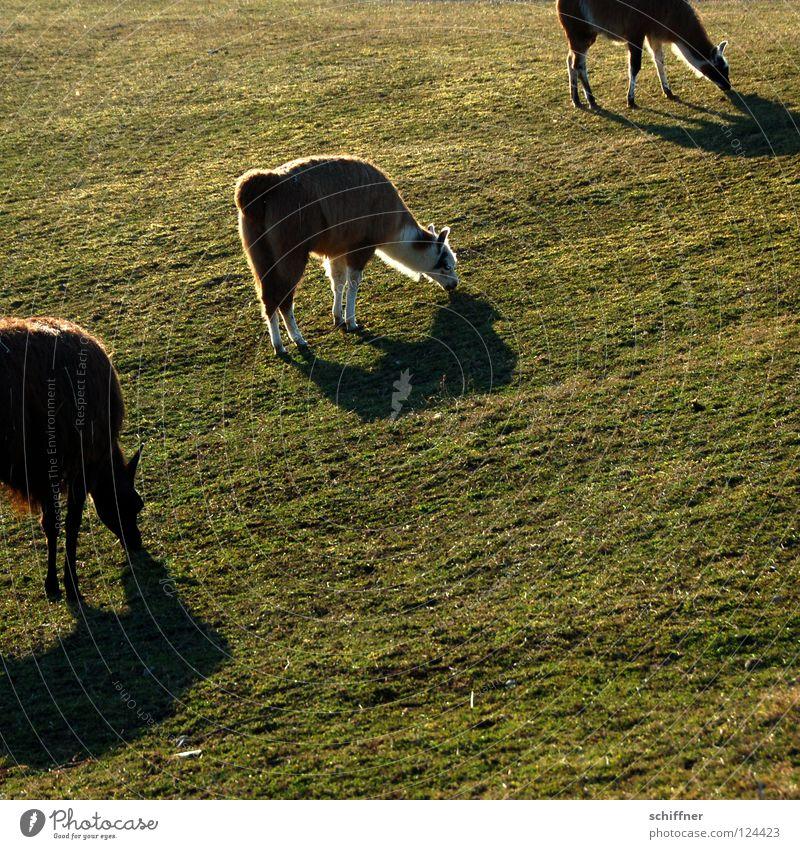 Formationsgrasen Paarhufer Kamel Tier Säugetier Fressen spucken Ernährung Wiese Gras Futter Südamerika diagonal Schatten Lama Alpaka Guanako Kamelart Sonne