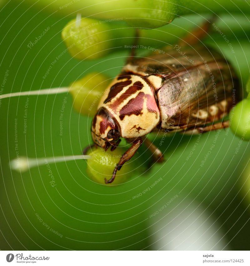 beetle Tier Urwald Käfer glänzend braun gelb grün Insekt schillernd Asien gepanzert Botanischer Garten Nahaufnahme Makroaufnahme Blüte