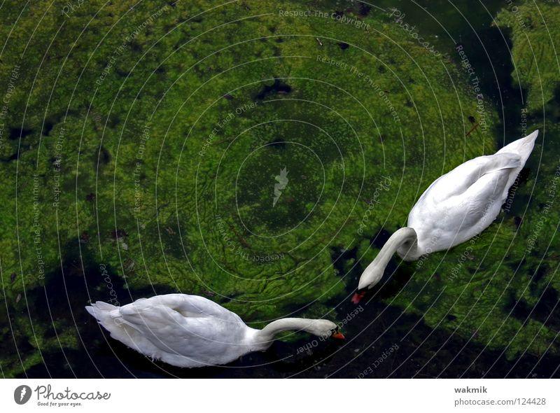 Schwäne Natur weiß grün Liebe Tier kalt Frühling Freiheit Vogel Tierpaar glänzend frei paarweise Frieden rein Idylle
