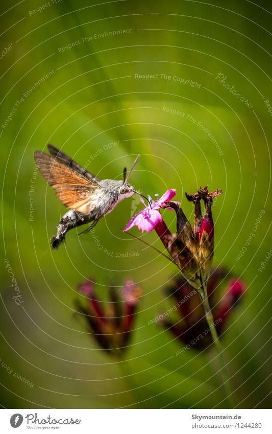 Taubenschwänzchen an Kartäusernelke Umwelt Natur Pflanze Tier Sonnenlicht Frühling Sommer Klima Klimawandel Wetter Blume Blüte Wildpflanze Garten Park Wiese