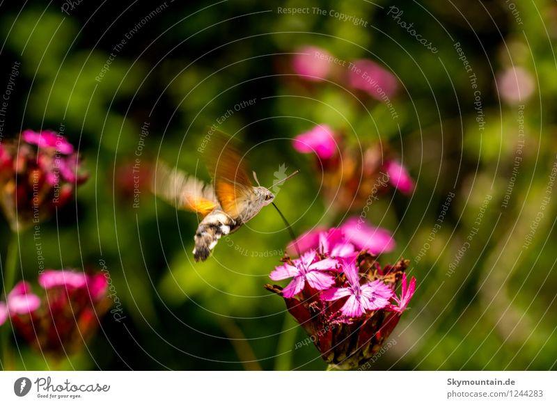 Taubenschwänzchen an Kartäusernelke Natur Pflanze schön Sommer Blume Tier Umwelt Frühling Wiese Garten fliegen Park Wetter Feld Wildtier Geschwindigkeit