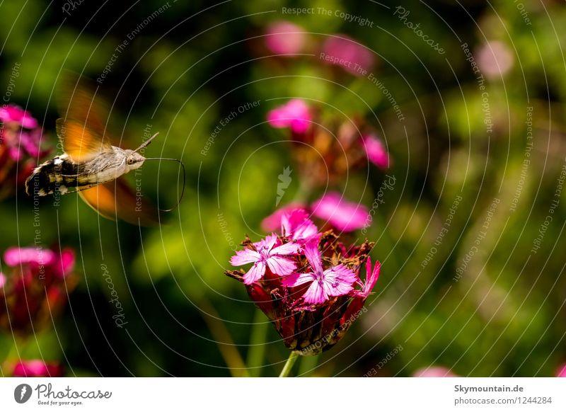 Taubenschwänzchen im Anflug auf Kartäusernelke Natur Pflanze schön Sommer Blume Tier Umwelt Frühling Wiese Garten fliegen Park Wetter Feld Wildtier Geschwindigkeit