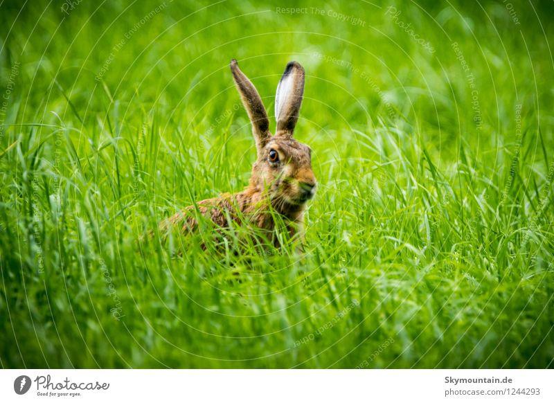 Feldhase oder Grashase oder Hase im Grase Umwelt Natur Landschaft Pflanze Tier Frühling Sommer Klima Wetter Schönes Wetter Garten Park Wiese Wald Hügel Wildtier