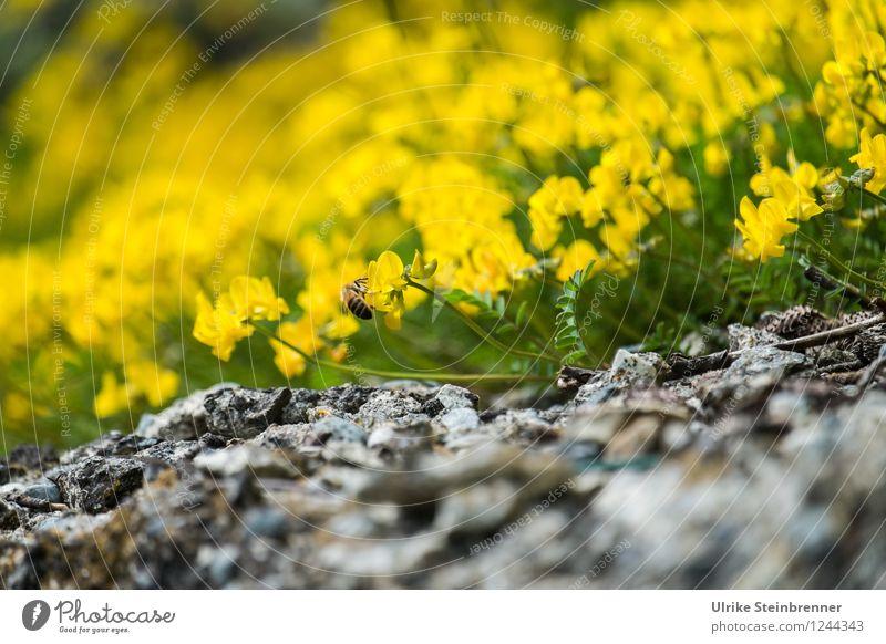 Der Frühling naht Umwelt Natur Pflanze Blume Blüte Wildpflanze Felsen Alpen Berge u. Gebirge Blühend Duft schön natürlich gelb Frühlingsgefühle Farbe Biene